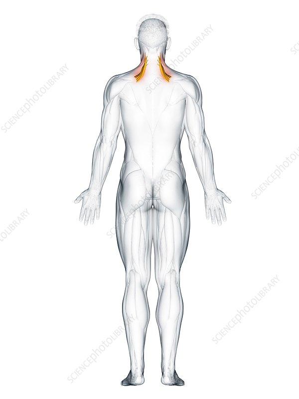 Levator scapularis muscle, illustration