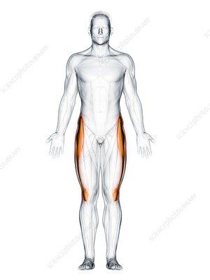 Tensor fascia lata muscle, illustration