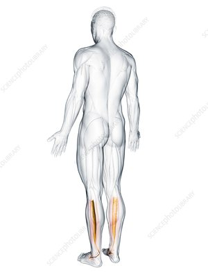 Tibialis posterior muscle, illustration