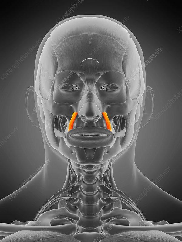 Levator anguli oris muscle, illustration