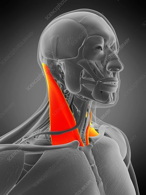 Sternocleidomastoid muscle, illustration