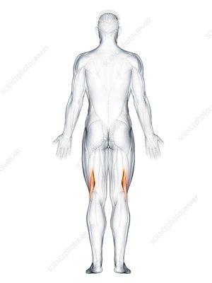 Biceps femoris short muscle, illustration