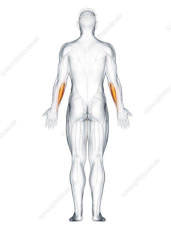 Flexor carpi ulnaris muscle, illustration