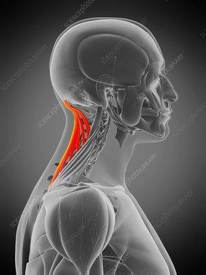 Semispinalis capitis muscle, illustration