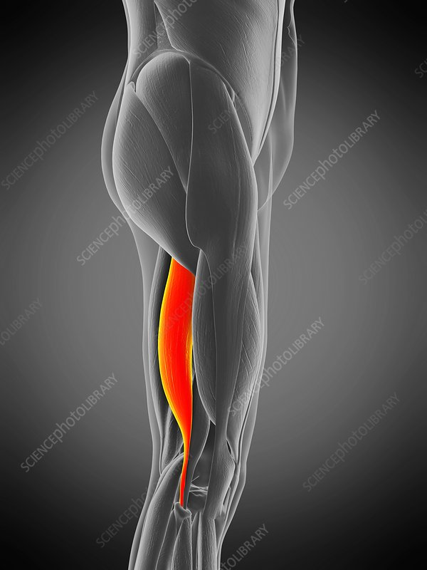 Biceps femoris longus muscle, illustration