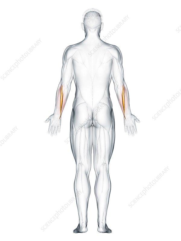 Extensor carpi ulnaris muscle, illustration