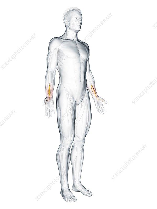 Flexor pollicis longus muscle, illustration