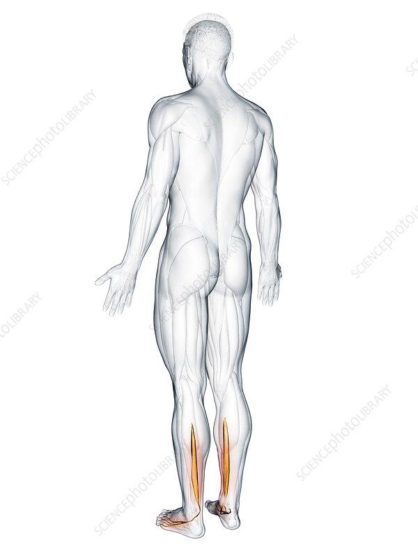 Flexor digitorum longus muscle, illustration