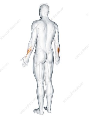 Abductor pollicis longus muscle, illustration