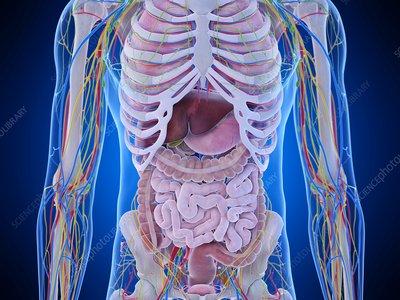 Abdominal anatomy, illustration
