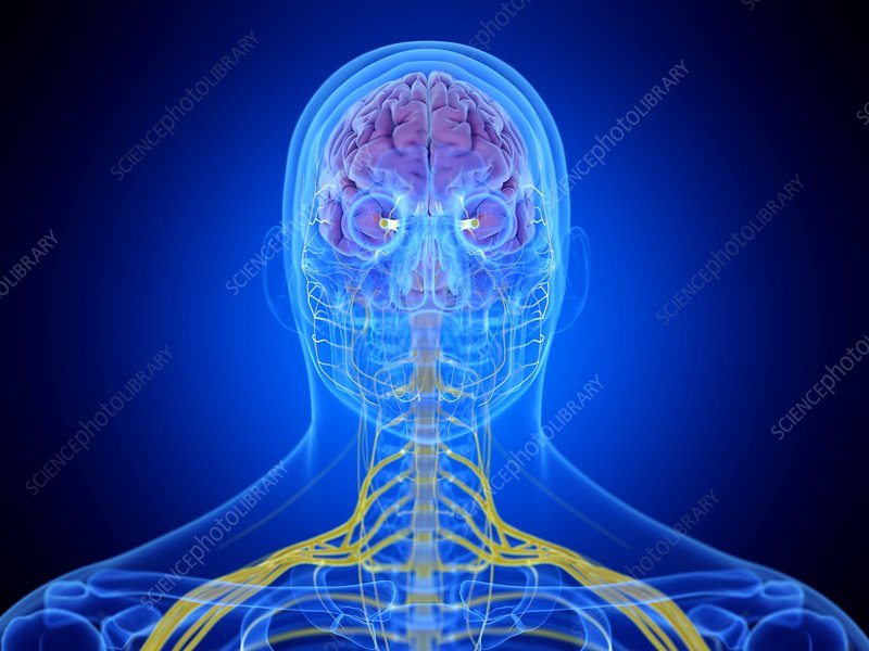 Brain, illustration
