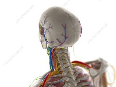 Head anatomy, illustration