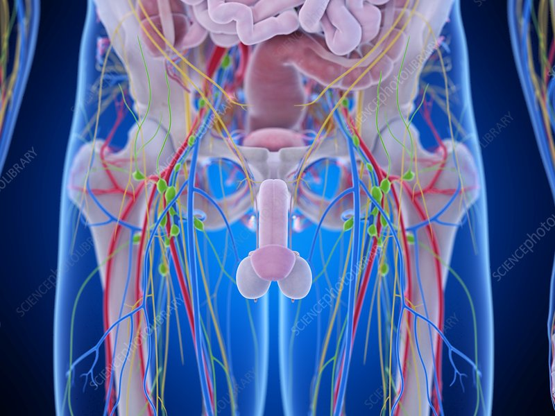 Pelvic anatomy, illustration