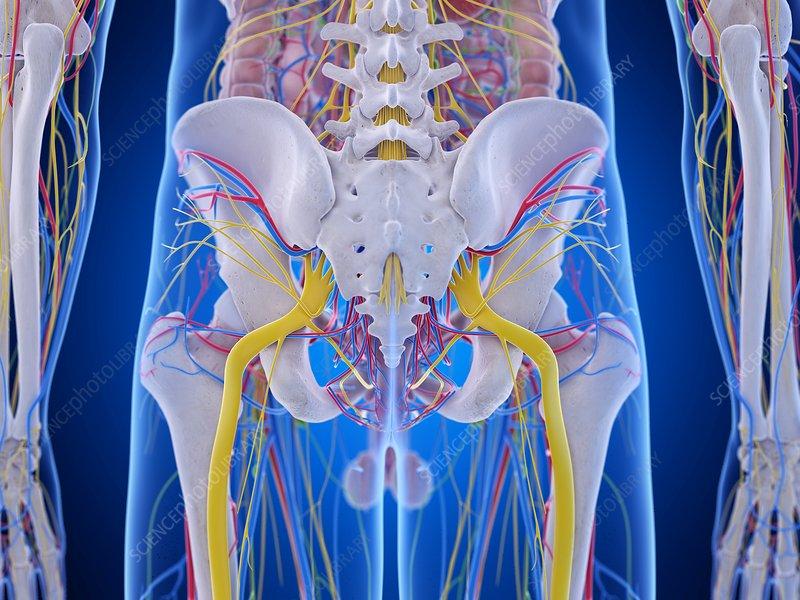 Pelvis anatomy, illustration