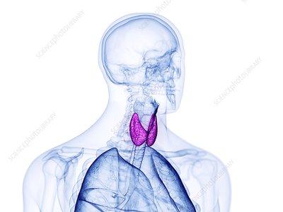 Thyroid gland, illustration