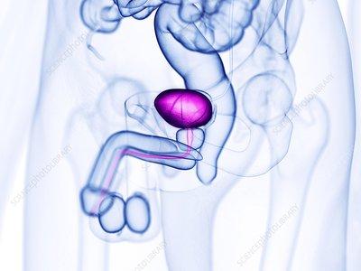 Urinary bladder, illustration