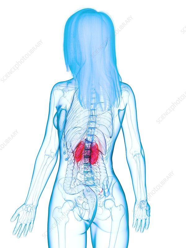 Diseased kidneys, illustration