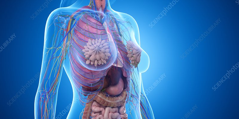 Female thorax anatomy, illustration