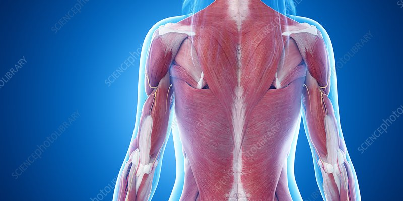 Upper body muscles, illustration