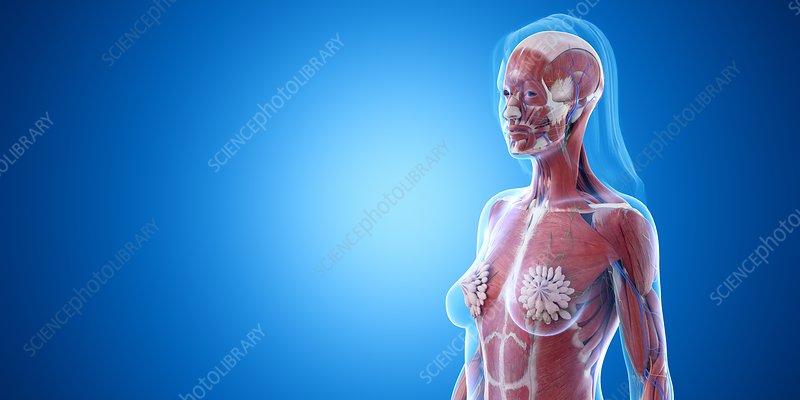 Upper body muscles, illustration