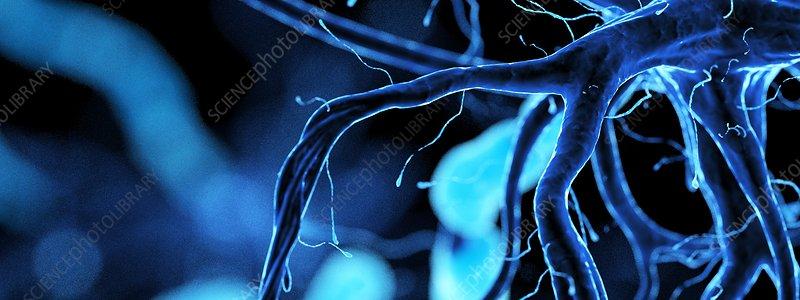 Nerve cell, illustration
