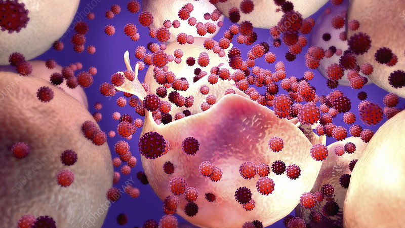 Coronavirus release from infected cell, illustration
