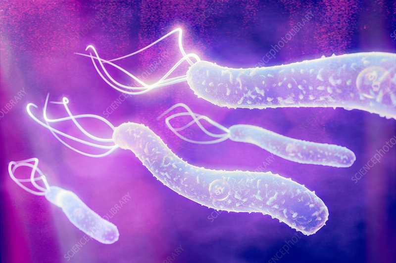 Helicobacter pylori bacteria, illustration