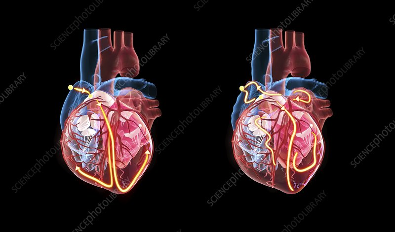 Human heart and its electrical system, illustration ...