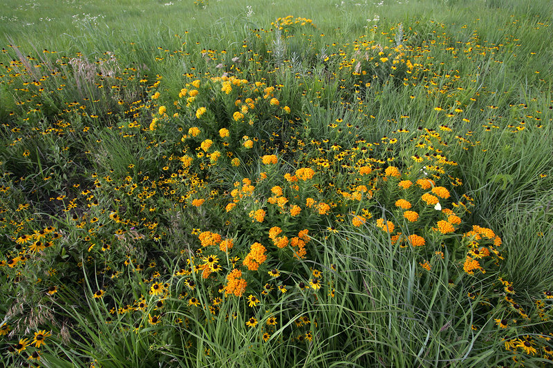 Wildflowers in a prairie meadow