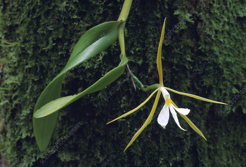 Night-scented orchid