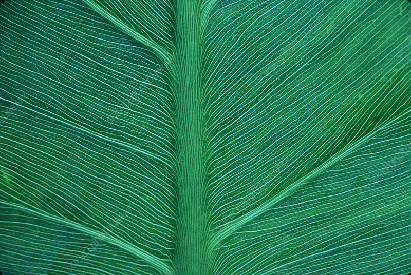 Green arrow leaf