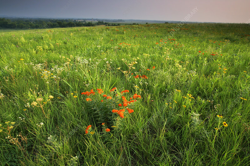 Butterfly Milkweed in prairie meadow