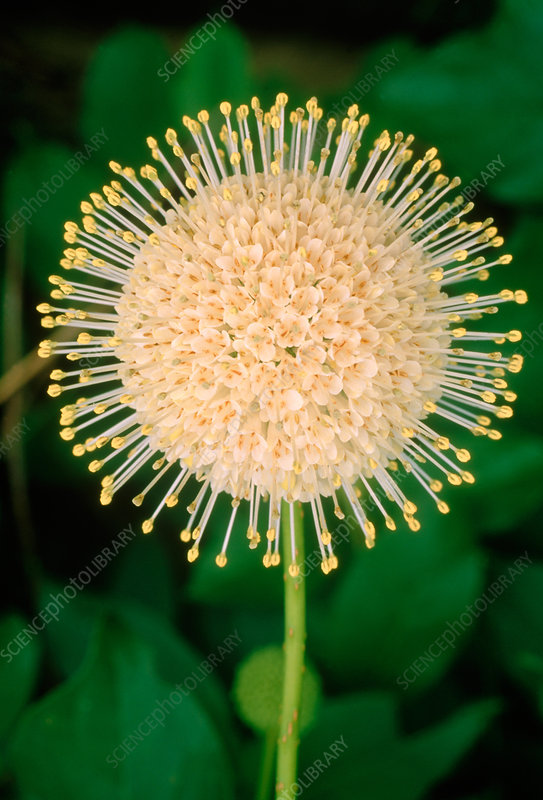 Buttonbush (Cephalanthus occidentalis)