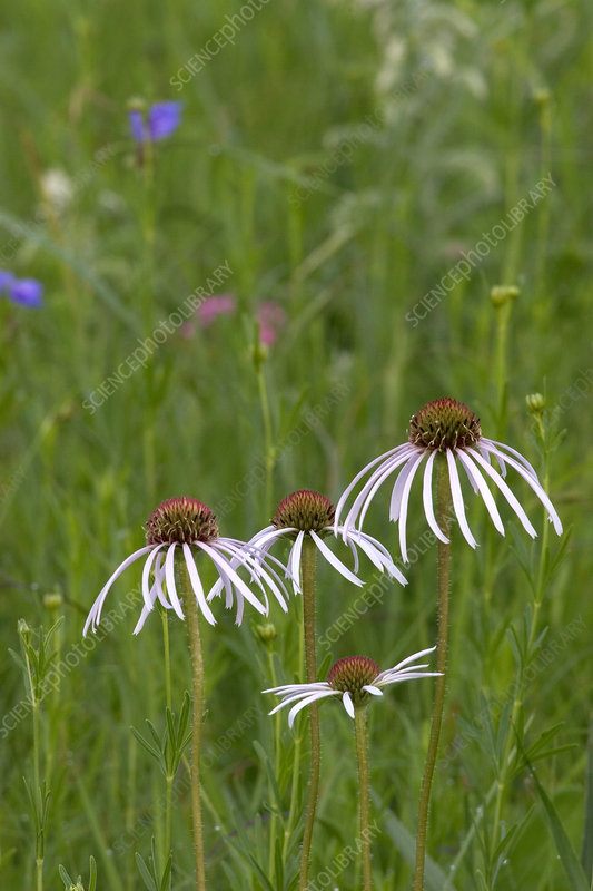 Pale Purple Coneflowers (Echinacea pallida)