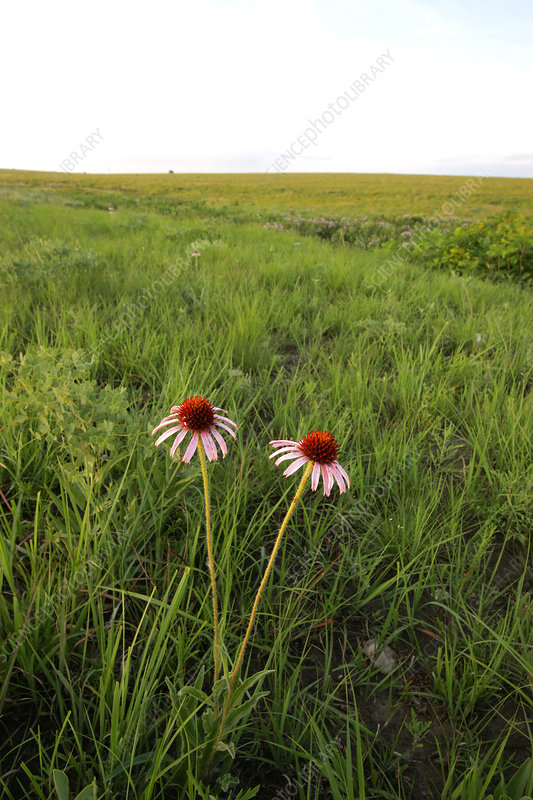 Blacksamson Echinacea in prairie pasture