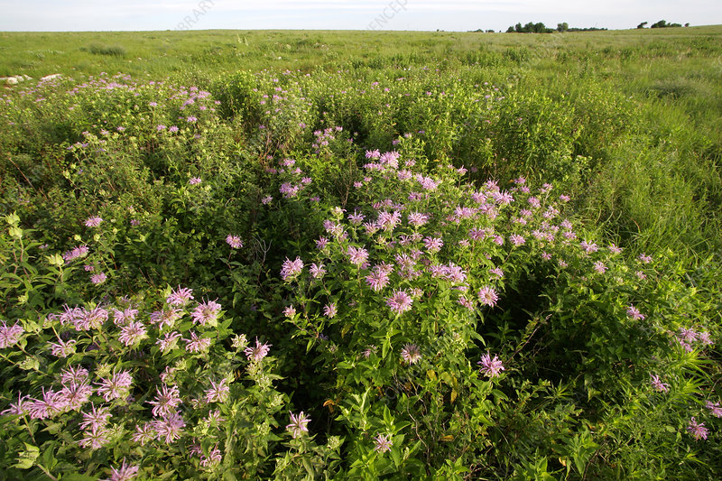 'Wild Bergamot in the Flint Hills, Kansas'