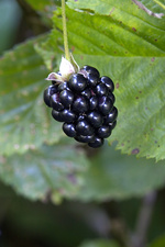 High-Bush Blackberry (Rubus ostryifolius)