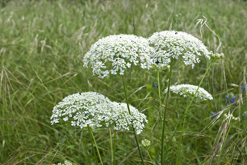 'Queen Anne's Lace, Daucus carota'