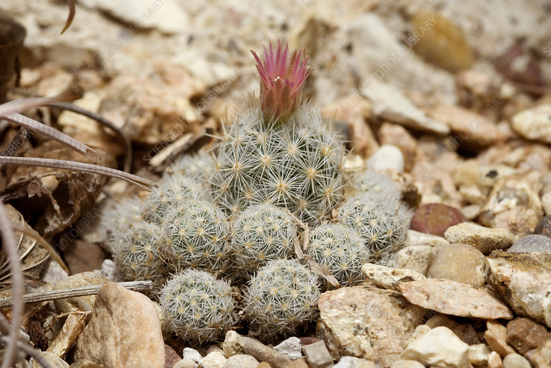 'Sneed's pincushion cactus, Coryphantha hesteri'
