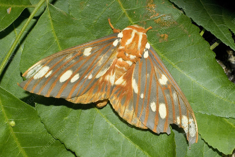 'The Regal Moth, Citheronia regalis'