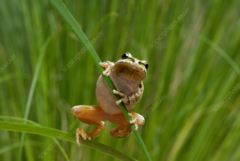 Pacific treefrog on iris leaves
