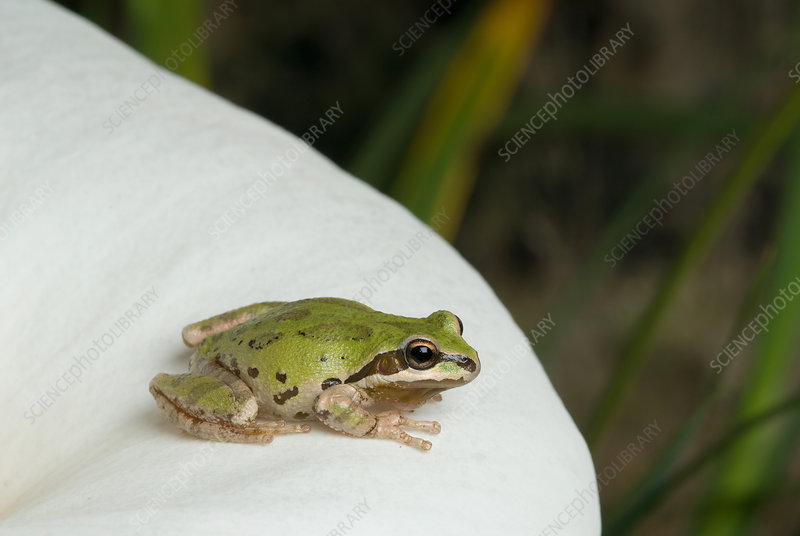Pacific treefrog on Calla lily