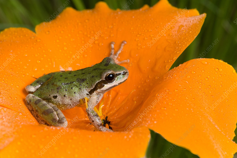 Pacific treefrog on California poppy