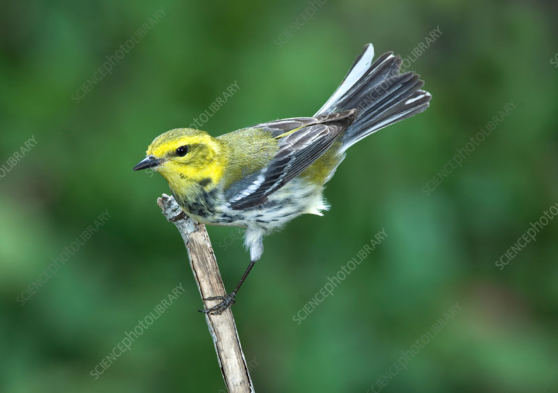 'Black-throated Green Warbler, female'
