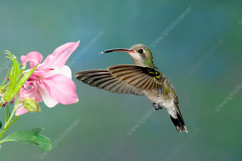 Broad-billed Hummingbird at flower