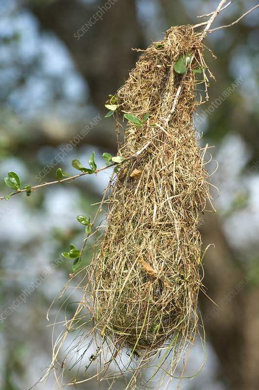 Nest of Altamira Oriole (Icterus gularis)