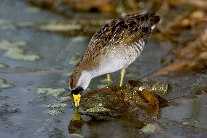Sora Rail (Porzana carolina)