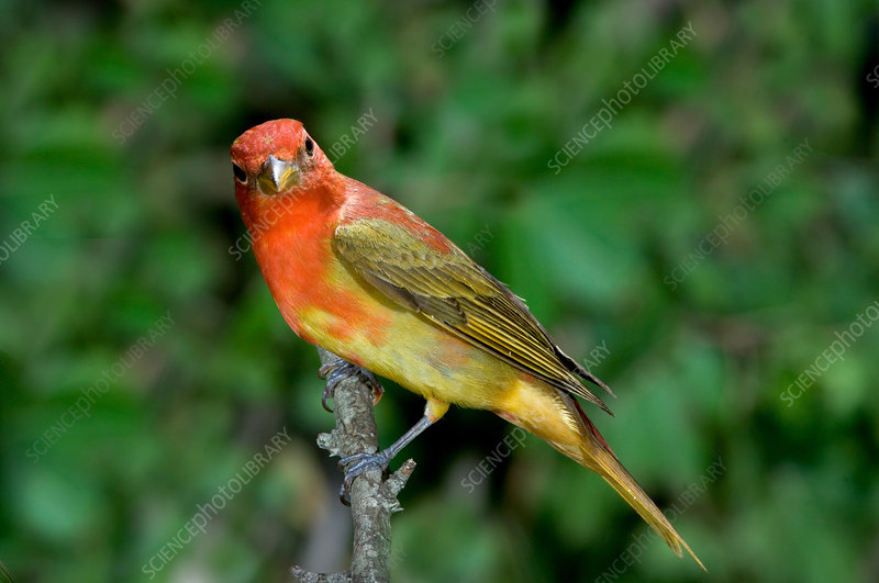 Summer Tanager changing color