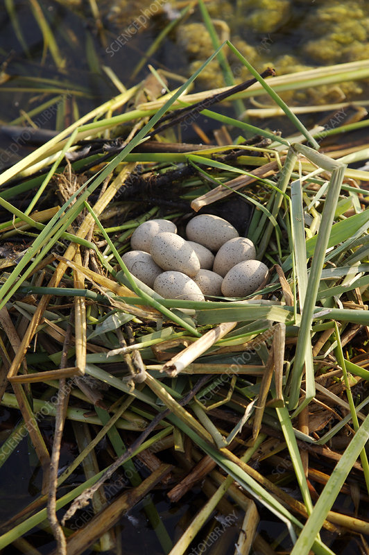 Floating Nest of Coot Eggs