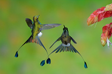 Booted Racket-tail Hummingbird Males